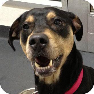 Rottweiler/Shepherd (Unknown Type) Mix Dog for adoption in Ithaca, New York - Diesel