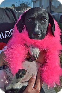 Corgi Mix Puppy for adoption in Corpus Christi, Texas - Sammie