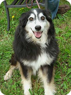 Australian Shepherd Mix Dog for adoption in Salem, New Hampshire - TRIXIE