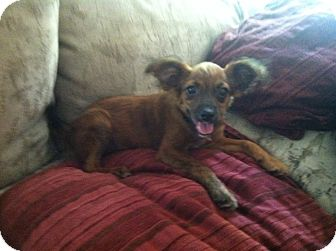 Chihuahua/Dachshund Mix Puppy for adoption in Shirley, New York - Sebastian