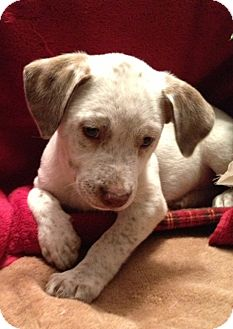 Hound (Unknown Type)/Pointer Mix Puppy for adoption in Loxahatchee, Florida - HOPE