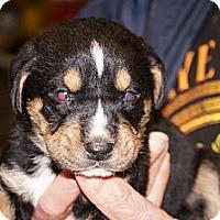 Adopt A Pet :: Sable aka Stella 7 - Conway, AR