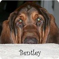 Adopt A Pet :: Bentley - Dallas, TX