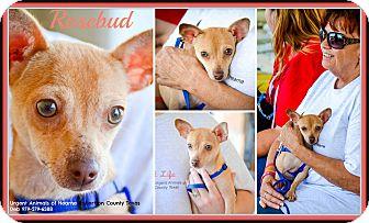Chihuahua/Dachshund Mix Dog for adoption in Hearne, Texas - Rosebud