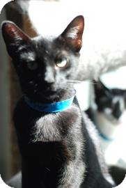 Domestic Shorthair Cat for adoption in Belle Chasse, Louisiana - Dubstep