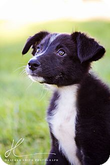 Border Collie Mix Puppy for adoption in Corning, California - MARY