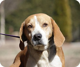 Hound (Unknown Type) Mix Dog for adoption in Windsor, Virginia - Chester