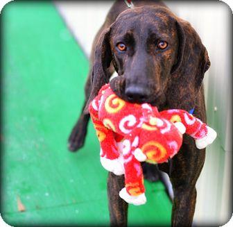 Plott Hound/Hound (Unknown Type) Mix Dog for adoption in Brattleboro, Vermont - Banjo (DD)