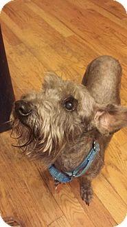 Miniature Schnauzer Dog for adoption in Springfield, Missouri - Barney