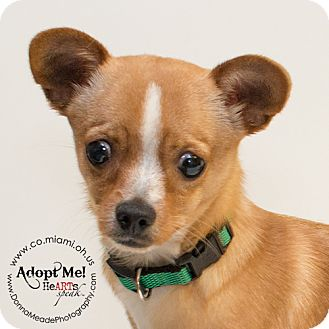 Chihuahua Mix Dog for adoption in Troy, Ohio - Dexter