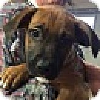 Boxer Mix Puppy for adoption in Richmond, Virginia - Alan-a-dale