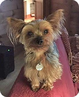 Yorkie, Yorkshire Terrier Dog for adoption in Atlanta, Georgia - Lacey