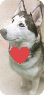 Siberian Husky Dog for adoption in Pittsburgh, Pennsylvania - Saberna