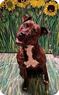 Pit Bull Terrier Mix Dog for adoption in West Babylon, New York - Molly