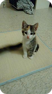 Domestic Shorthair Kitten for adoption in Cambridge, Ontario - Dory