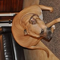 Pit Bull Terrier/Boxer Mix Dog for adoption in Chandler, Arizona - PENNY 4