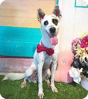 Labrador Retriever Mix Dog for adoption in Castro Valley, California - Lexus