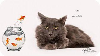 Russian Blue Cat for adoption in Corona, California - REBEL