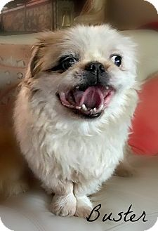 Pekingese Dog for adoption in Columbia, Tennessee - Buster
