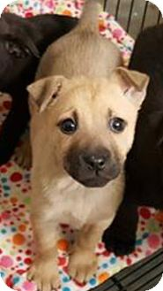 Shepherd (Unknown Type) Mix Puppy for adoption in Patterson, New York - Monica