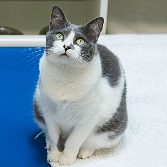 Domestic Shorthair Cat for adoption in Houston, Texas - Cookie