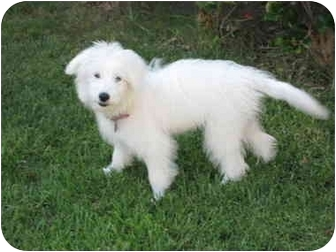 Maltese Mix Puppy for adoption in chandler, Arizona - Princess