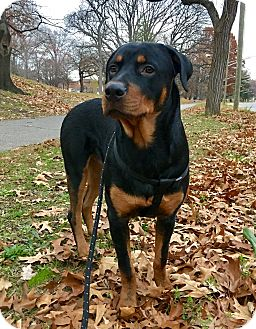Rottweiler Puppy for adoption in Nanuet, New York - Dex