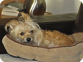 Yorkie, Yorkshire Terrier/Maltese Mix Dog for adoption in Parker, Colorado - APRIL