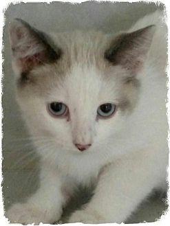 Siamese Kitten for adoption in Pueblo West, Colorado - Nigel