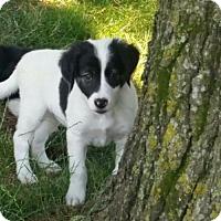 Adopt A Pet :: Rollie - Omaha, NE
