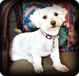Maltese/Terrier (Unknown Type, Small) Mix Dog for adoption in Tijeras, New Mexico - Monae