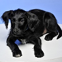 Terrier (Unknown Type, Medium) Mix Puppy for adoption in Crossville, Tennessee - Lefty