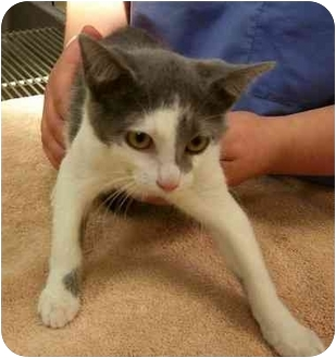 Domestic Shorthair Kitten for adoption in Odenton, Maryland - Ruby