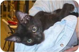Domestic Shorthair Kitten for adoption in Colmar, Pennsylvania - Salem