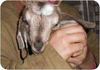 Goat for adoption in Sac, California - Dino