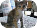 Calico Kitten for adoption in Tampa, Florida - Poalina