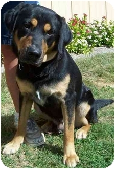 Rottweiler/German Shepherd Dog Mix Dog for adoption in North Judson, Indiana - Curtis
