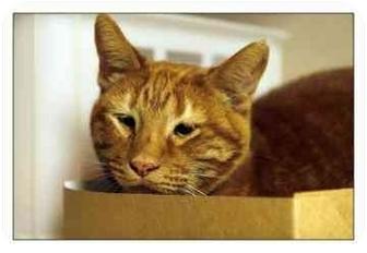 Domestic Shorthair Cat for adoption in North Charleston, South Carolina - Freddy