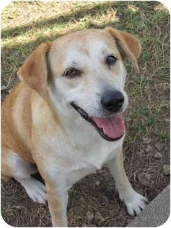 Labrador Retriever Mix Dog for adoption in Homestead, Florida - Sage