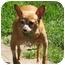 Photo 2 - Chihuahua Mix Dog for adoption in Portland, Oregon - Tick