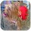 Photo 3 - Yorkie, Yorkshire Terrier Dog for adoption in Encino, California - Mango