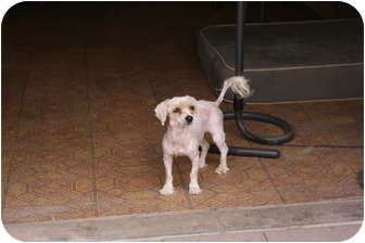 Miniature Poodle Dog for adoption in Burbank, California - Pippi