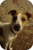Jack Russell Terrier Mix Dog for adoption in Yuba City, California - Dollar