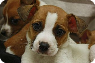 Jack Russell Terrier Mix Puppy for adoption in Jackson, Michigan - Magnus