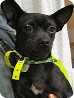 Chihuahua Dog for adoption in Thousand Oaks, California - Angelina