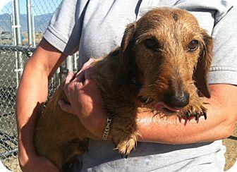 Dachshund Dog for adoption in Gardnerville, Nevada - Hans