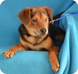 Hound (Unknown Type) Mix Dog for adoption in Minneapolis, Minnesota - Dex