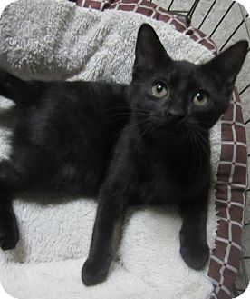 Domestic Shorthair Kitten for adoption in Des Moines, Iowa - Charlotte