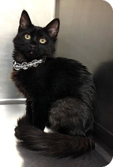 Domestic Mediumhair Kitten for adoption in Dublin, California - Wilma