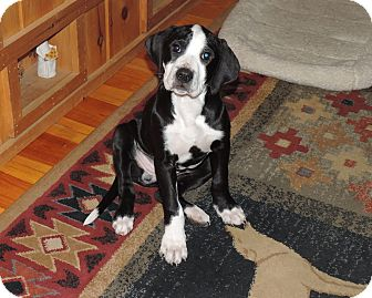 Border Collie/Pit Bull Terrier Mix Puppy for adoption in North Haverhill, New Hampshire - Katie adoption pending
